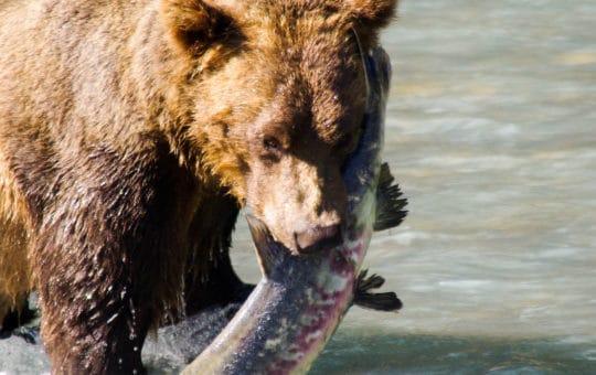 Erlebnis Natur, Lachse, Bären und mehr…