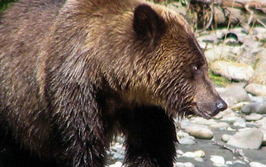 Grizzly Bär Exkursion